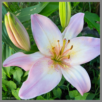 Pink lily square by Mogrianne