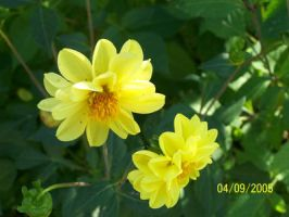 Yellow flowers by black-cat16-stock