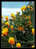 Pacific Poppies by TeaPhotography
