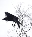 The Crow. by no-soap-was-harmed