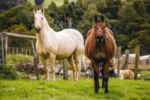 Bay Mare and Palomino Gelding by DWDStock