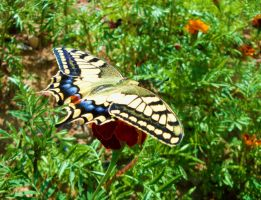 Papilio machaon by saysoifyouwantto