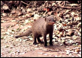 Cheeky Mongoose by mikewilson83
