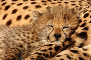 Cheetah 4 by swissnature