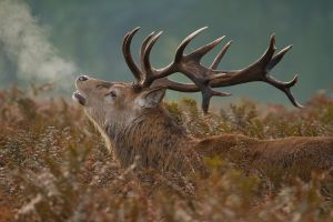 Red Deer Stag by mansaards