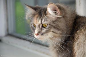 My siberian cat by Finsternisss