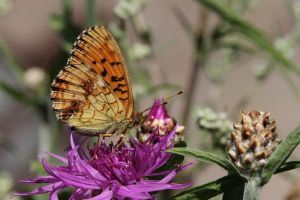 The Lesser Marbled Fritillary by Arctictouch