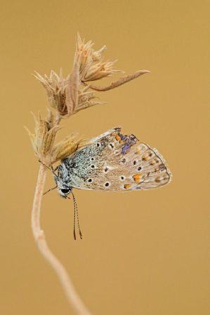 Common blue butterfly by ~Smederevac