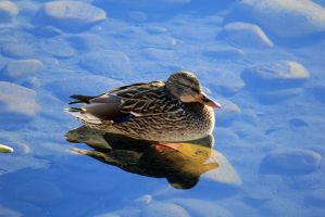 Ducks don't float... by sgt-slaughter