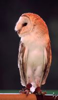 Proud Owl by OK-Photography