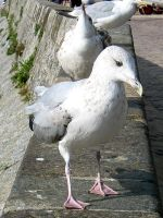 seagull I by bluemacgirl