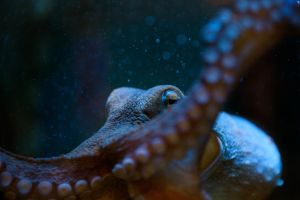 Octopus by PenguinPhotography