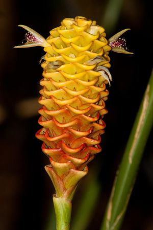 Beehive Ginger by secondclaw