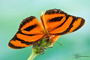 Colombian butterfly by ColinHuttonPhoto