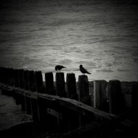 sea crows by lostknightkg