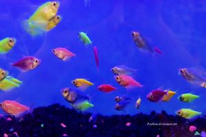 Stock - Glofish (Skirt Tetras) 4 by Pendlera