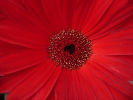 Red Flower - Dry by JPizza