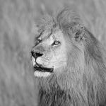 portrait of lion by serhatdemiroglu