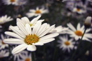 What Did You Say By Wishinbubble On Deviantart: where did daisies originate