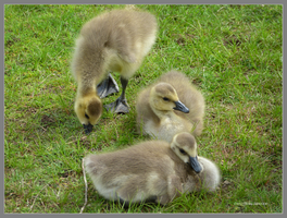 3 lil goslings by Mogrianne