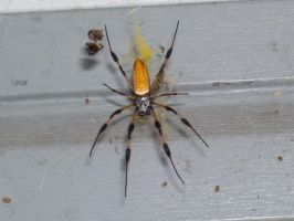 Banana Spider by Kitian500