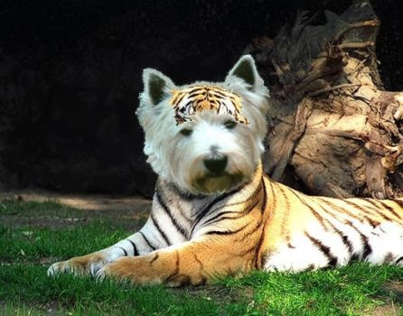 West Highland Tiger by ronhue