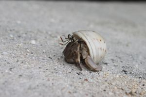 Hermit Crab 1 by finalverdict