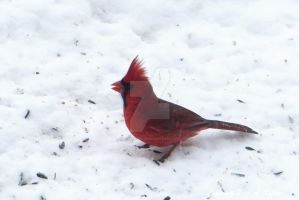 Male Cardinal and Seeds by peterkopher