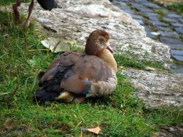 duck 04 by Pagan-Stock