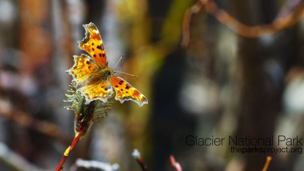 Glacier Park - Comma Butterfly by mattgorecki