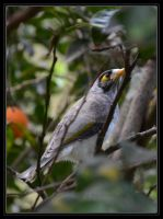Noisy Miner juvenile by DesignKReations