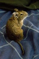 Animals - Degu 2 by MoonsongStock