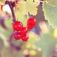Redcurrant by jussta