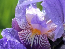 Irises by AgiVega