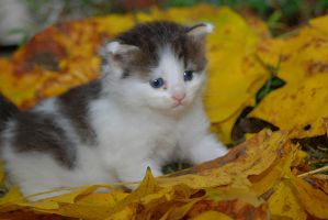 An Autumn Kitten by martintinaz
