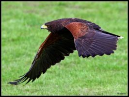 Harris Hawk In Flight 2 by cycoze