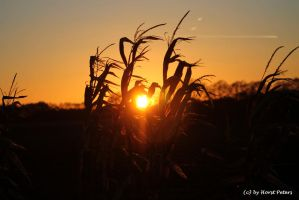Sunset in the Maize Field 2 by bluesgrass
