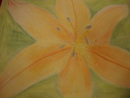 Orange Lily Drawing by versaillesjewels