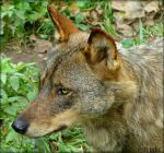 Portrait Of An Iberian Wolf by Estruda