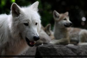 Hudson Bay Wolf 216 by Canisography