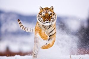 Siberian Tiger 2 by ~catman-suha