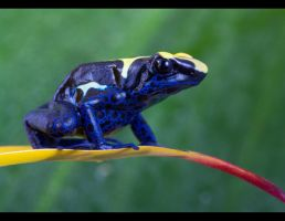 Blue dartfrog by AngiWallace