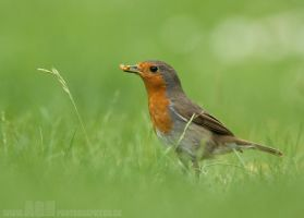 Robin by Albi748
