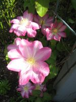 Clematis 3 by groundhog22