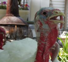 Turkey's get very hot in the summer time by ZinStone