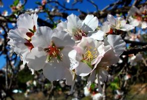 White Almond. by TheRawAtom