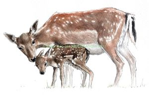 Fallow deer FEMALE AND FAWN by VickyTico