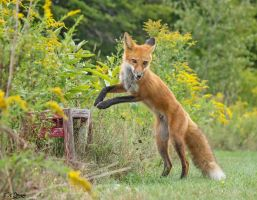 Chili, the Red Fox 68 by Nini1965