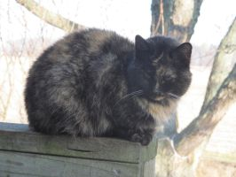Torty cat: stock by Lythre-does-photos