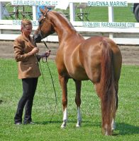 Halter Horse 7 by shi-stock